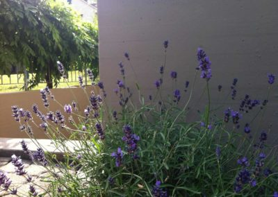 House wall with lavender